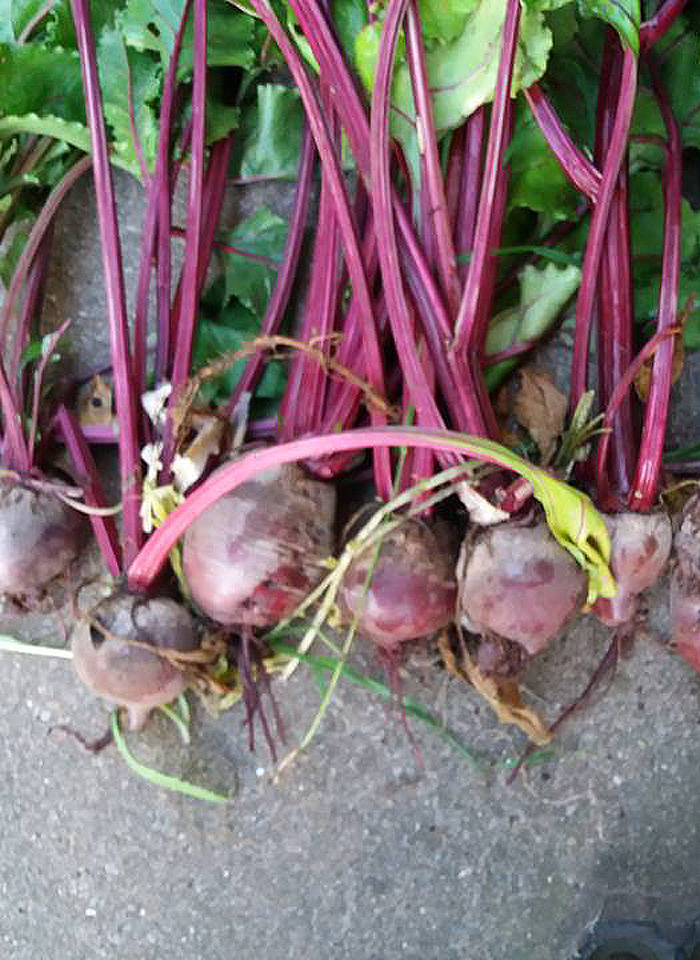 A close-up of some beetroots at Winterton Allotments