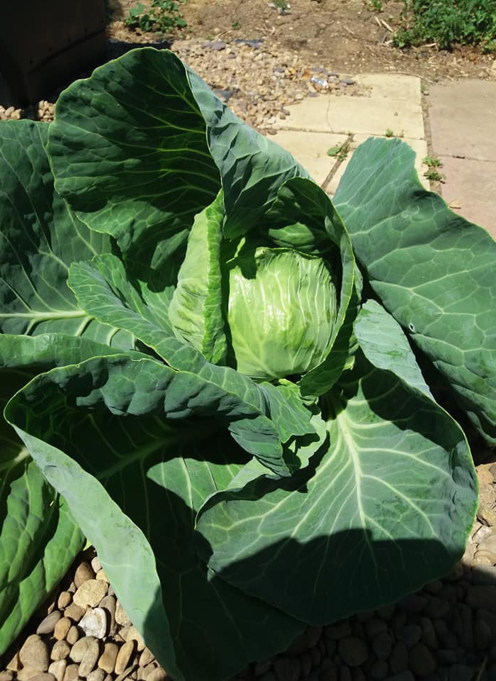 A close-up of a cabbage at Winterton Allotments